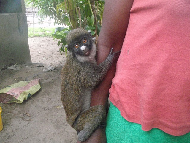 World Travel Photos :: Animals :: Pet Monkey @ Monrovia, Liberia
