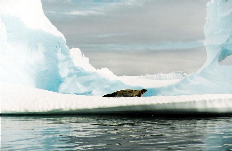 World Travel Photos :: Seals and other animals :: Antarctica