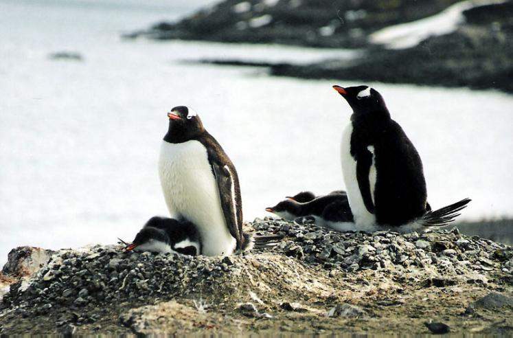 World Travel Photos :: Penguins :: Antarctica. Penguins