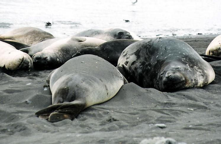 World Travel Photos :: Seals and other animals :: Antarctica. Seals Resting on the Beach