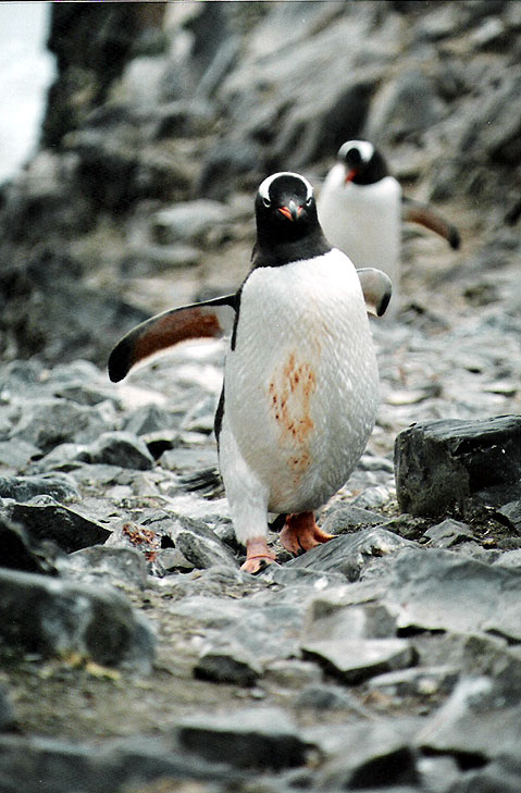 World Travel Photos :: Antarctica :: Antarctica. This Penguin is Little, but Very Representative