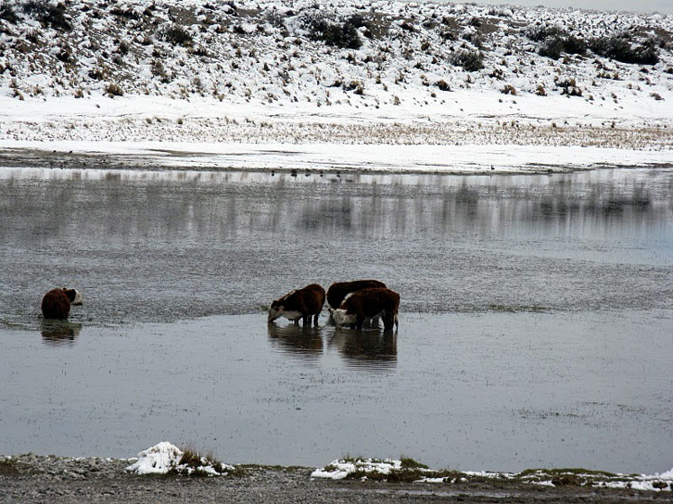 World Travel Photos :: Landscapes :: Argentina.Cows drinking water