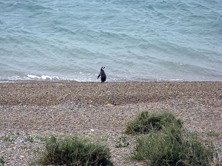 World Travel Photos :: Argentina - Misc :: Argentina - a lonely penguin