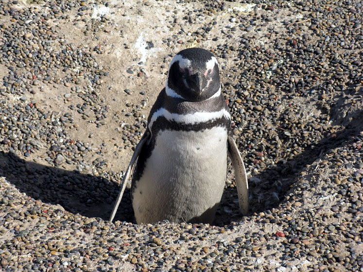 World Travel Photos :: Argentina - Misc :: Argentina - a penguin