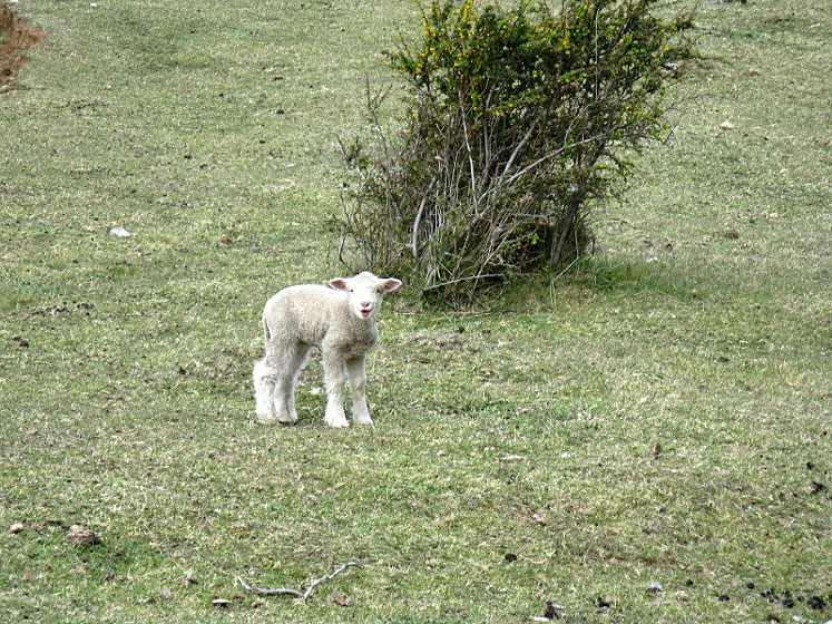 World Travel Photos :: Argentina - Misc :: Argentina - a little lamb
