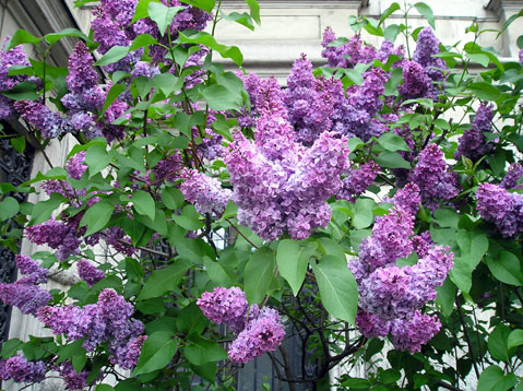 World Travel Photos :: Flowers :: Vienna. Lilac