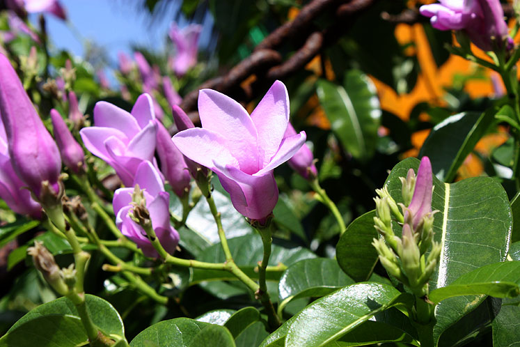 World Travel Photos :: Bahamas :: Bahamas. Half Moon Cay - pink flowers