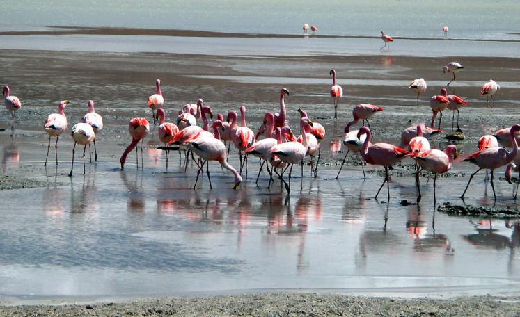 World Travel Photos :: Bolivia :: Bolivia. Uyuni Salt Flats - pink flamingoes