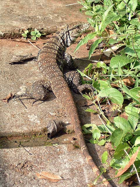 World Travel Photos :: Animals :: Brazil. Large Lizard