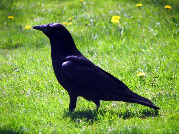 World Travel Photos :: Canada - Nova Scotia - Halifax :: Halifax. A crow in Public Gardens