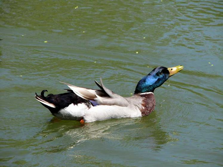 World Travel Photos :: Canada - Nova Scotia - Halifax :: Halifax. A duck in Public Gardens