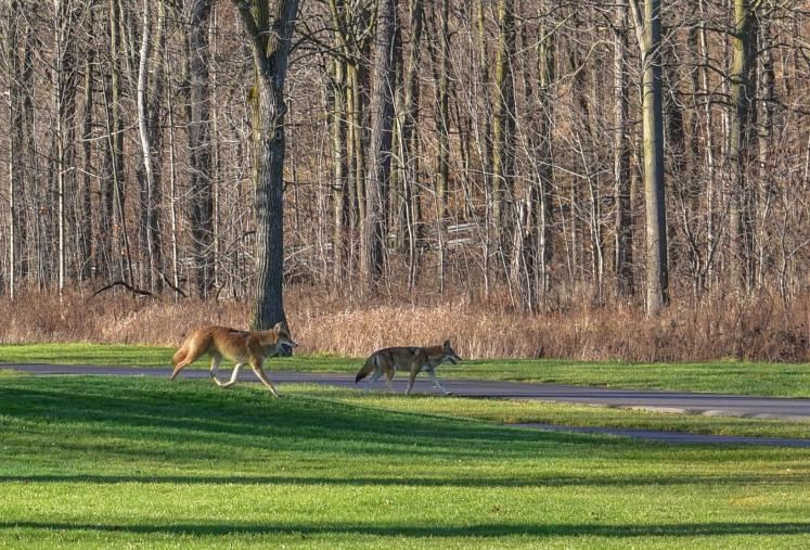 World Travel Photos :: Canada - Ontario - Misc :: Coyotes Taking Over Kings Forest Golf Course
