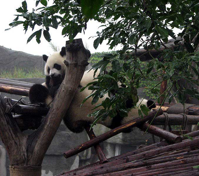 World Travel Photos :: Animals :: China. Panda