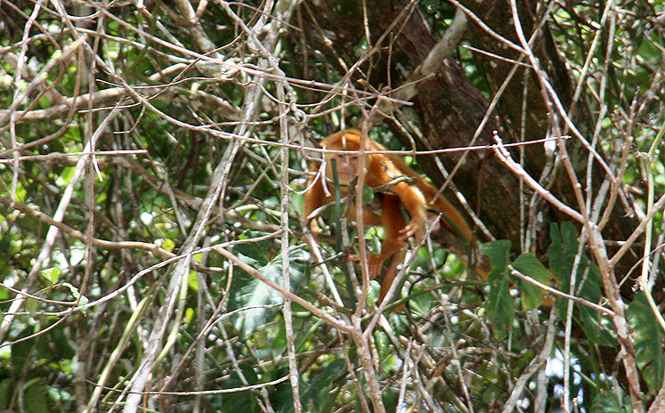 World Travel Photos :: Costa Rica :: Costa-Rica. A Golden Monkey on the tree
