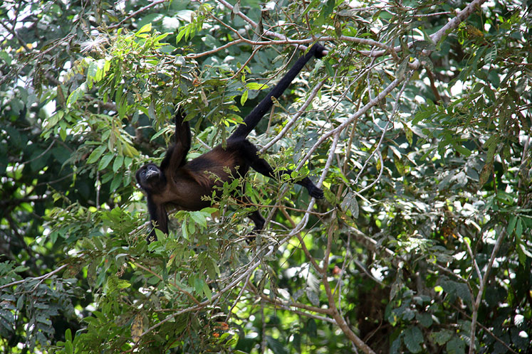 World Travel Photos :: Costa Rica :: Costa-Rica. A howler monkey in Cano Negro Natural Reserve