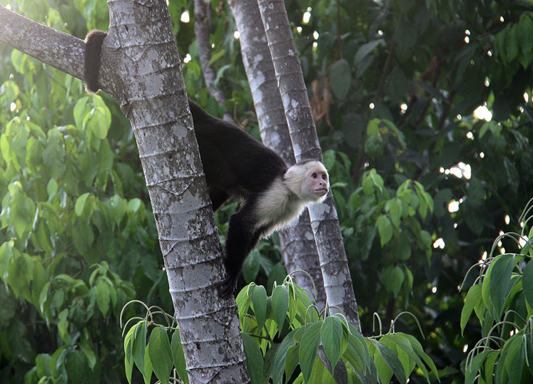 World Travel Photos :: Costa Rica :: Costa Rica. A white faced capuchin