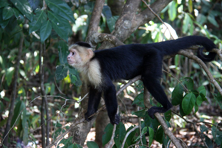 World Travel Photos :: Torontonian :: Costa Rica. A  white-headed capuchin in the trees