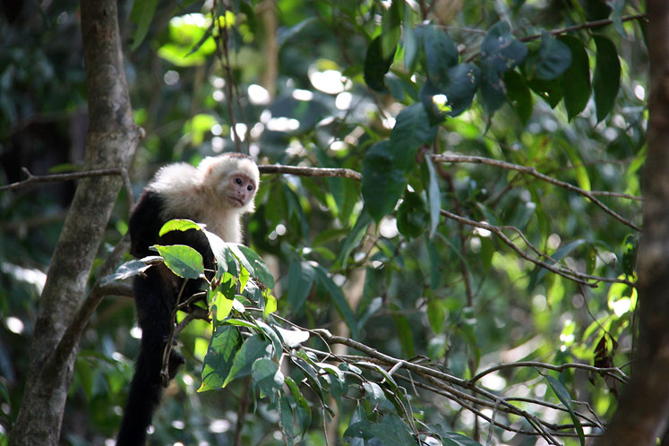 World Travel Photos :: Torontonian :: Costa Rica. A  white-headed capuchin on the tree