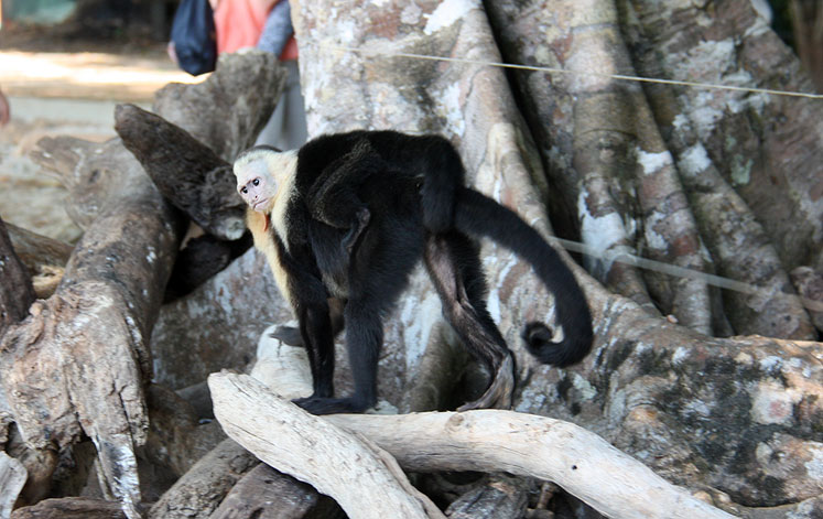 World Travel Photos :: Torontonian :: Costa Rica. A  white-headed capuchin with a baby