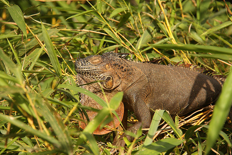 World Travel Photos :: Costa Rica :: Costa-Rica. An iguana is enjoying a hot day
