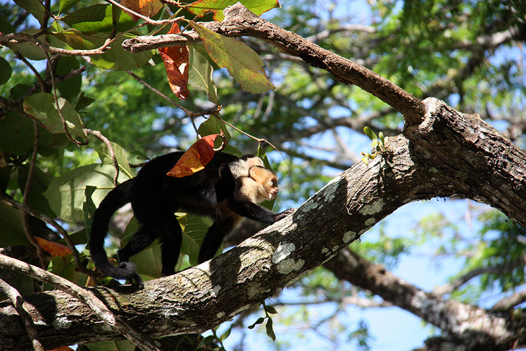World Travel Photos :: Costa Rica :: Costa Rica. Costa Rica. A  white-headed capuchin with a baby on her back