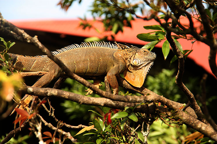 World Travel Photos :: Costa Rica :: Costa-Rica. Iguana enjoying the sun