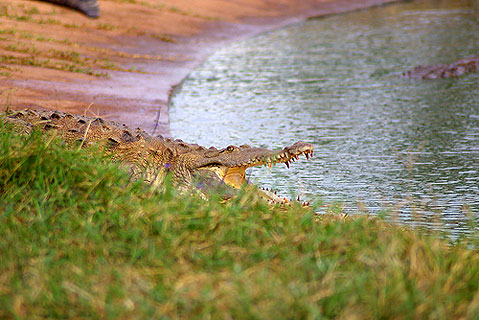 World Travel Photos :: Cuba - Cayo Coco :: Cuba. Cayo Coco - crocodile