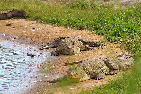 World Travel Photos :: Cuba - Cayo Coco :: Cuba. Cayo Coco - crocodiles