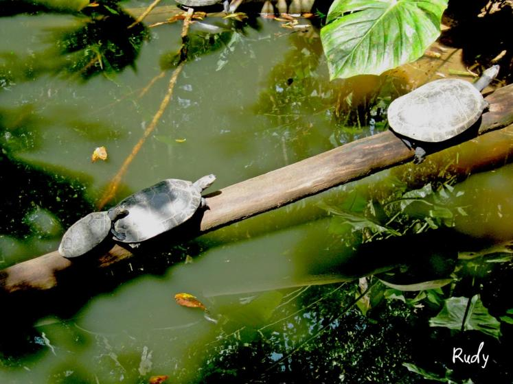 World Travel Photos :: Ecuador  - Misc :: Ecuador. Charapas turtles