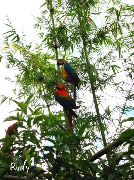 World Travel Photos :: Ecuador  - Misc :: Guacamayos parrots near the town of Archidona Amazonic region of Ecuador
