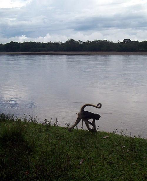 World Travel Photos :: Ecuador  - Misc :: Ecuador - a monkey walking towards Amazon river