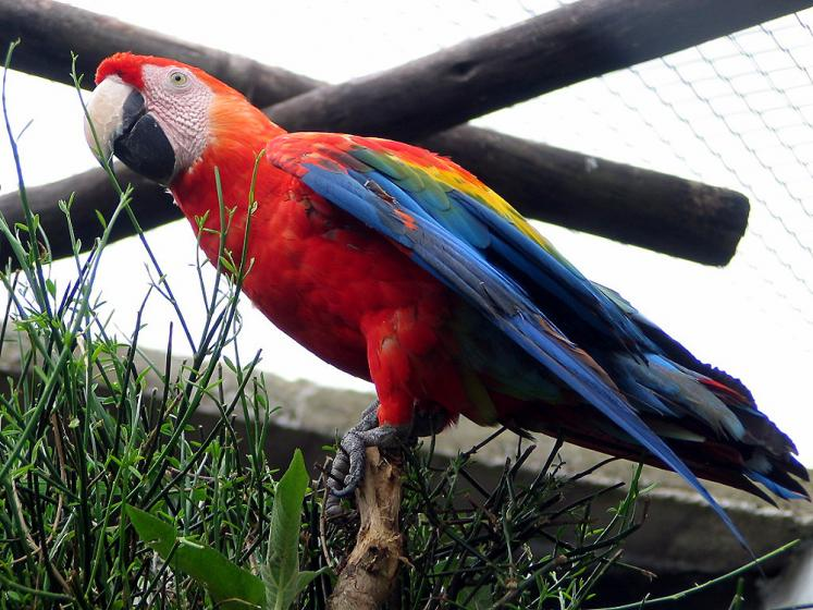 World Travel Photos :: Ecuador - Baños :: Baños - red parrot