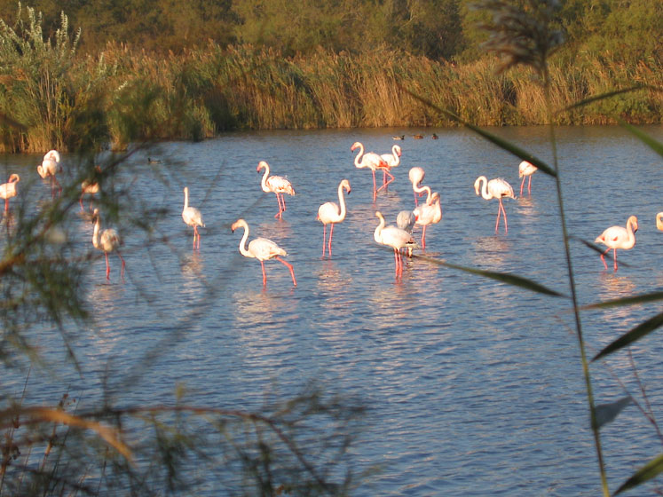 World Travel Photos :: France - Provence :: Flamingos in Provence, France