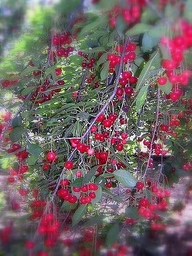 World Travel Photos :: Plants & Flowers :: Israel. Holan Heights. Cherries