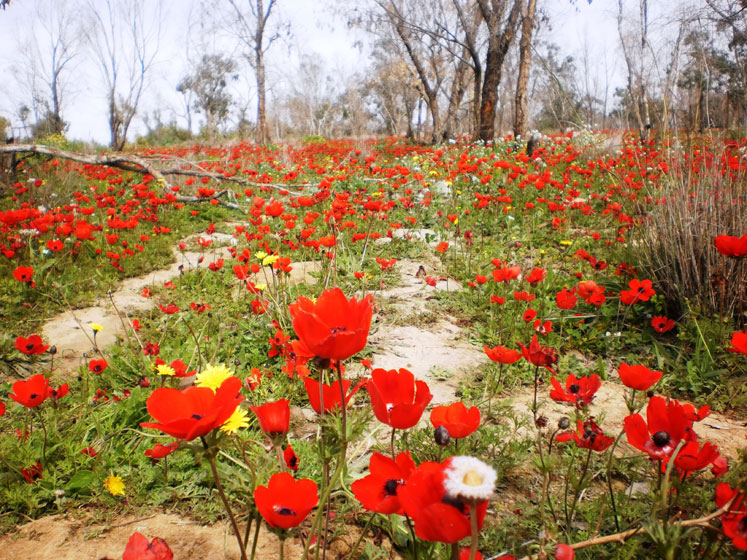 World Travel Photos :: Mark :: Israel. Red poppy flowers blooming in spring