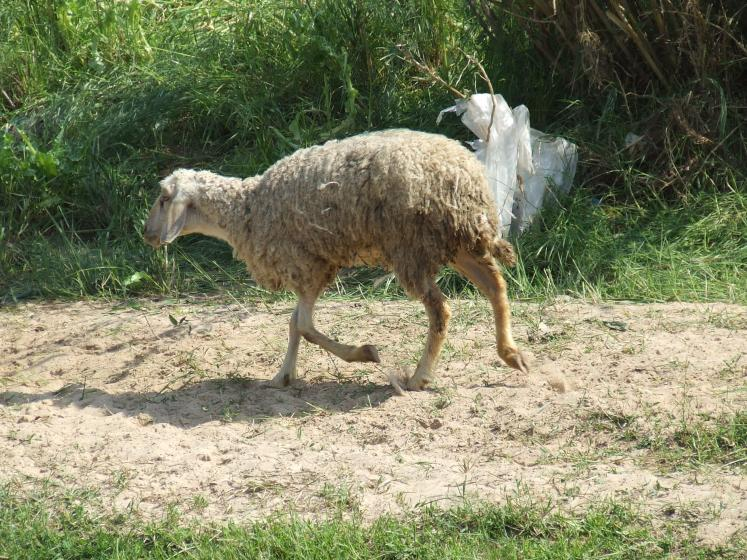 World Travel Photos :: Israel - Misc :: Israel - a sheep