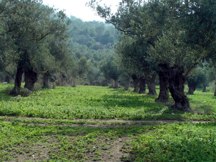 World Travel Photos :: Israel - Misc :: Israel. Olive trees
