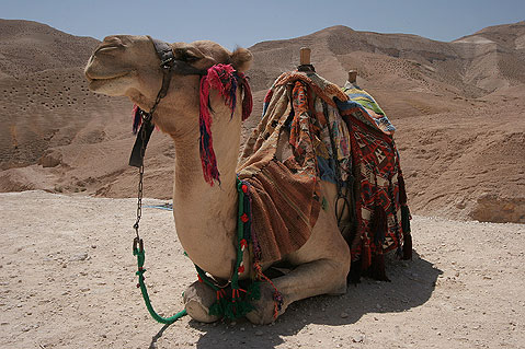 World Travel Photos :: Israel - Negev Desert :: Israel. Camel in Negev Desert