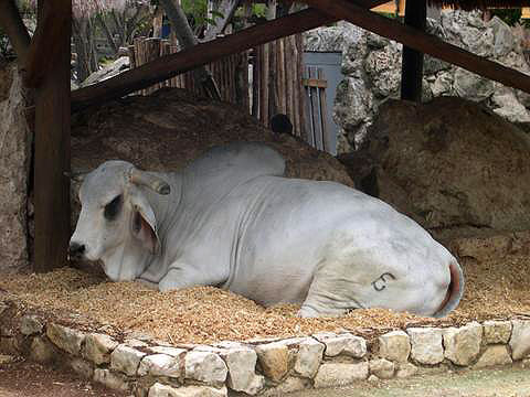 World Travel Photos :: Miulin :: Cancun. A cow in Xcaret Park