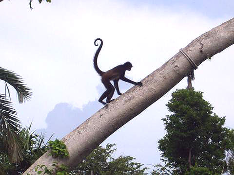 World Travel Photos :: Miulin :: Cancun. Monkey in Xcaret Park