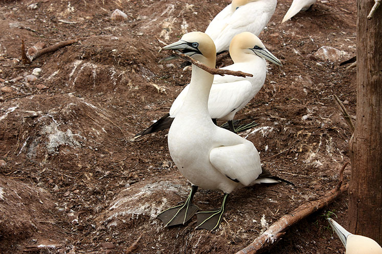 World Travel Photos :: Canada - Quebec - Bonaventure Island :: Quebec. Bonaventure Island - a gannet carrying a stick