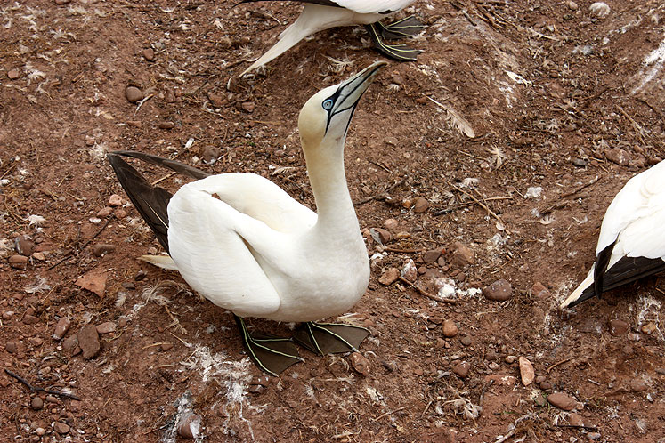 World Travel Photos :: Canada - Quebec - Bonaventure Island :: Quebec. Bonaventure Island - a gannet