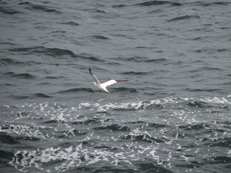 World Travel Photos :: Canada - Quebec - Bonaventure Island :: Quebec. Bonaventure Island - flying gannet