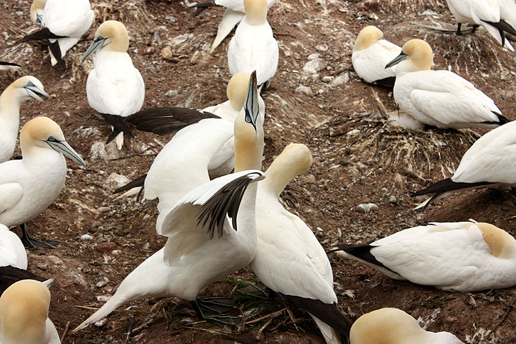 World Travel Photos :: Canada - Quebec - Bonaventure Island :: Quebec. Bonaventure Island - gannet stretching wings