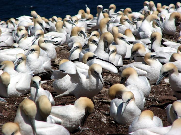 World Travel Photos :: The most beautiful natural spots :: Quebec. Bonaventure Island - gannets