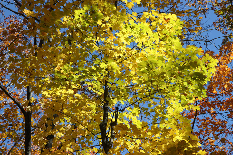 World Travel Photos :: Canada - Quebec - Misc :: Quebec. Gatineau Park - a maple tree
