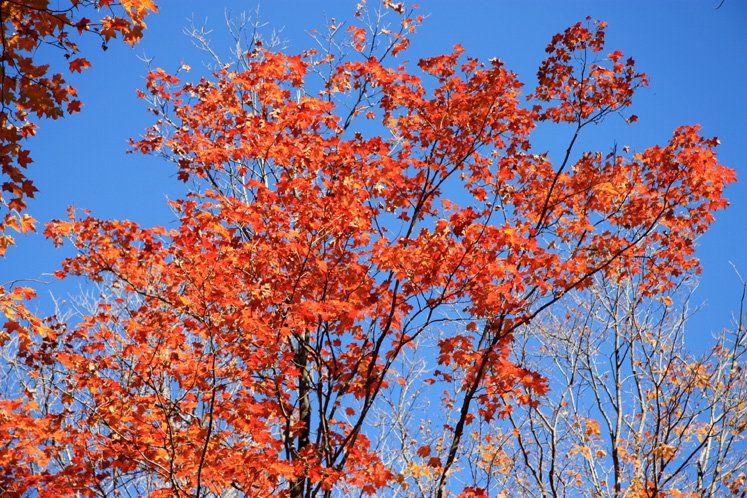 World Travel Photos :: Colors - Rouge :: Quebec. Gatineau Park - red maple and blue sky
