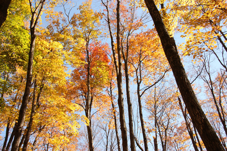World Travel Photos :: Canada - Quebec - Misc :: Quebec. Gatineau Park - tall trees