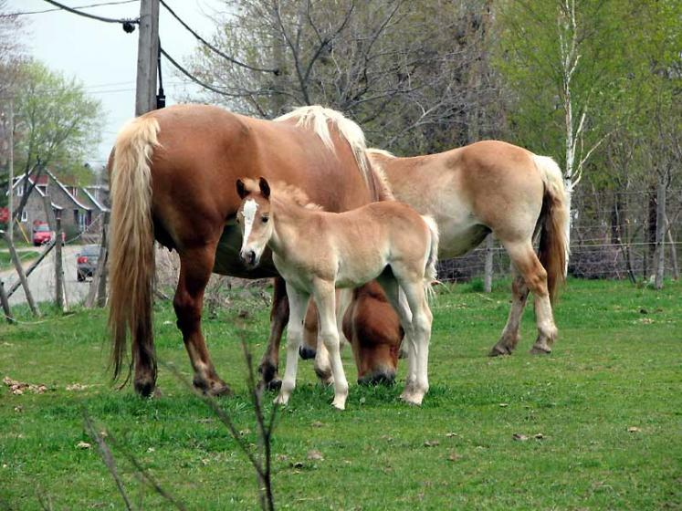 World Travel Photos :: Canada - Quebec - l´Ile-d´Orleans  :: Ile d´Orleans, Quebec - horses family