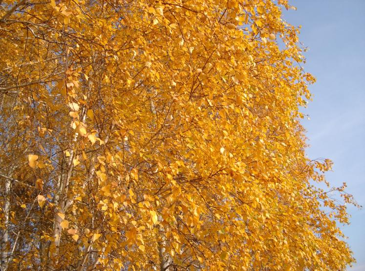 World Travel Photos :: Russia - Omsk District :: Russia. Omsk District - Autumn Gold